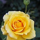♫Yellow Rose of Texas♫ by heatherfriedman