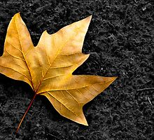 Lone Leaf by ccaetano