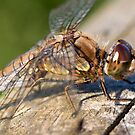 Dragonfly at Martin mere by Shaun Whiteman