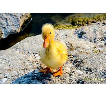 Duckling Photographic Print