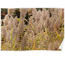 Common Reedgrass Poster