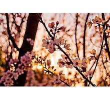 Sunset Through the Blossoms Photographic Print