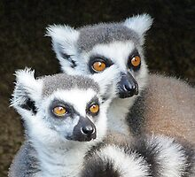 Ring-tailed Lemur Companions by Margaret Saheed