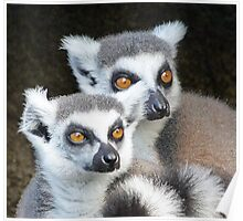 Ring-tailed Lemur Companions Poster