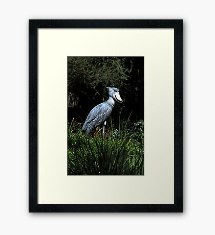 Shoe Billed Stork Framed Print