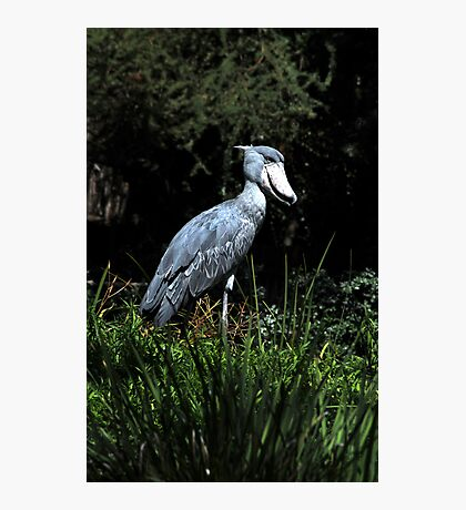 Shoe Billed Stork Photographic Print