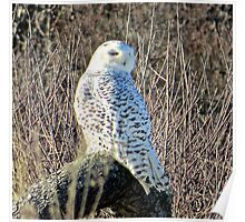 Snowy Owl on the beach Poster