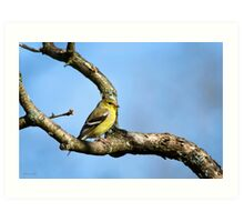 American Goldfinch Bird Art Art Print