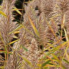 Common Reedgrass by Vickie Emms
