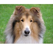 Collie Portrait Photographic Print