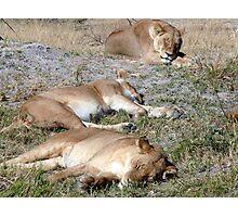 Lions at Moremi Game Reserve, Botswana Photographic Print