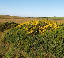 Gorse on the Moor by kalaryder