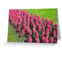Vibrant Pink Hyacinths - Keukenhof Gardens Greeting Card