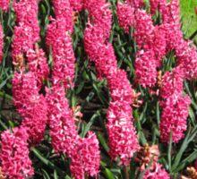 Vibrant Pink Hyacinths - Keukenhof Gardens Sticker