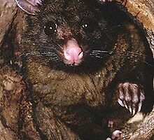 Brush-tail Possum by Peter  Tonelli