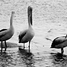 A Trio of Pelicans  by D-GaP