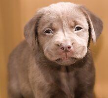 Chocolate Labrador Puppy 03 by Darren Allen