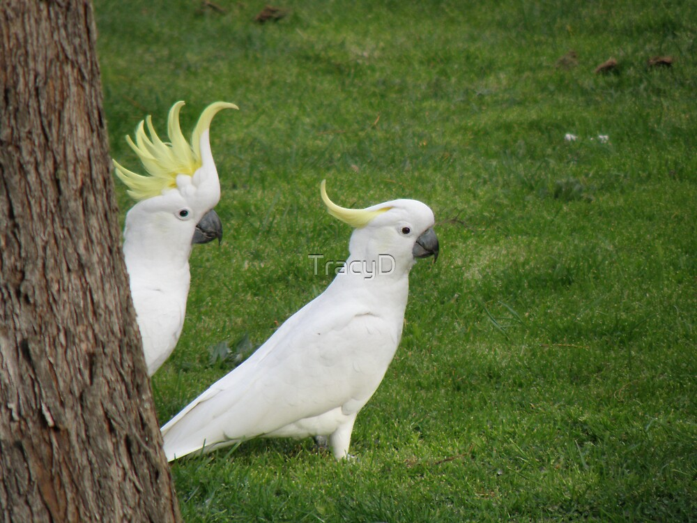 """""""Presenting Mr and Mrs Cockatoo!"""" by TracyD"""