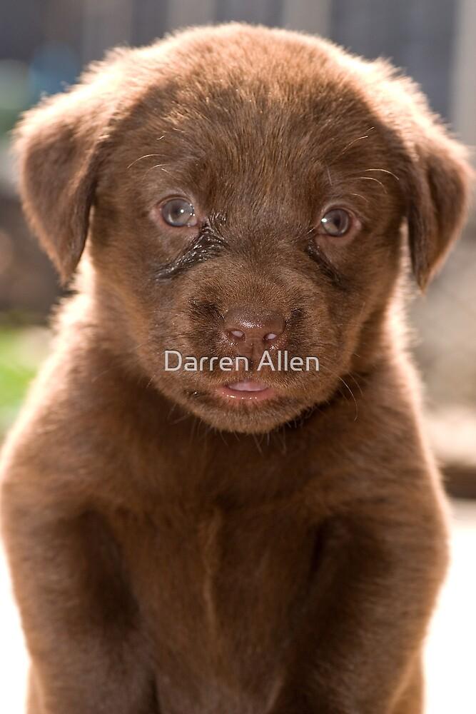 Chocolate Labrador Puppy 04 by Darren Allen