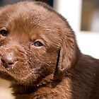 Chocolate Labrador Puppy 06 by Darren Allen