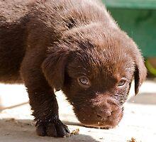 Chocolate Labrador Puppy 07 by Darren Allen