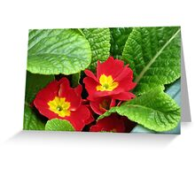 Scarlet and Gold - Sunlit Primroses Greeting Card