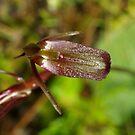 Gnat Orchid - Top Veiw by Biggzie