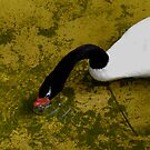 The Very Rare Black Necked Swan by Jim Caldwell