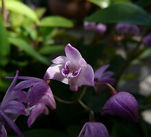Orchid 2-1 by beeden