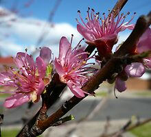 Peach Blossoms by beeden
