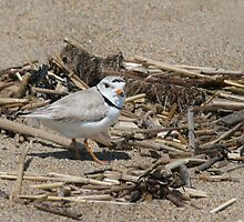 Piping Plover by EvaMcDermott