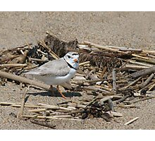 Piping Plover Photographic Print