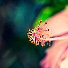 Hibiscus  by Kornrawiee
