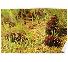 Fir tree cones  Poster