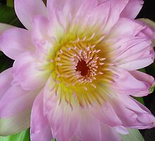 Delicate pink lotus on a black background by soniamattson