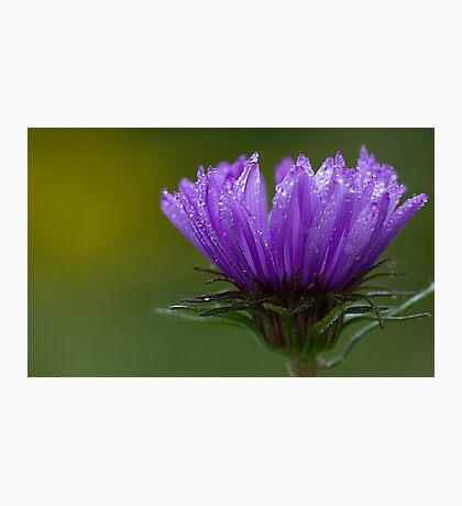 Sheer Purple Photographic Print