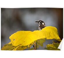 new holland honeyeater - ia Poster