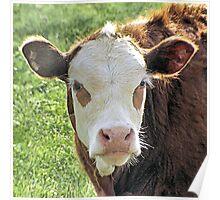 White Face Calf Poster