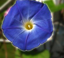 Heavenly Blue Morning Glory by Brad Sumner