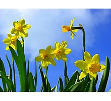 Narcissus in Sunshine Photographic Print