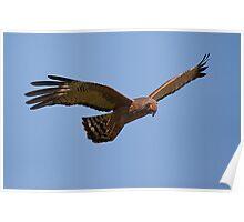 Flying brown goshawk - 2h Poster