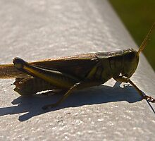 Grass Hopper by Marc Evans