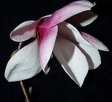 Magestic Magnolia by SharonD
