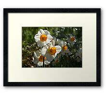 Sunny Side Up - Daffodils Blooming in a Fabulous Spring Garden Framed Print