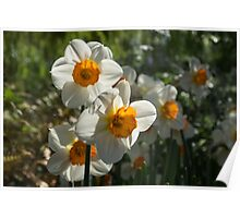 Sunny Side Up - Daffodils Blooming in a Fabulous Spring Garden Poster