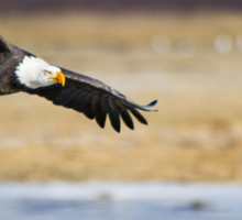 Watch out bald eagle Sticker