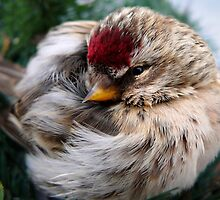 Ball of Feathers Winter Redpoll Bird Art by Christina Rollo