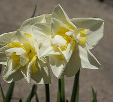 Pastel Yellow Spring - a Pair of Double Daffodils by Georgia Mizuleva