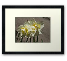 Pastel Yellow Spring - a Pair of Double Daffodils Framed Print
