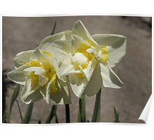 Pastel Yellow Spring - a Pair of Double Daffodils Poster